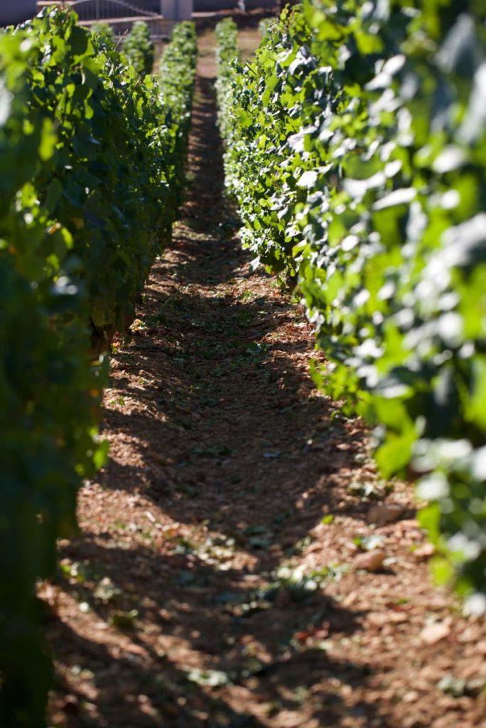 grand-vin-de-bourgogne-vignes